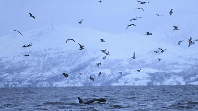 Ikan Haring, yang merupakan santapan favorit Orca, adalah alasan utama kenapa Paus Pembunuh itu bermigrasi.