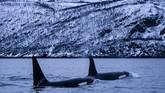 Santapan favorit Orca itu merasakan hanya di tempat tersebut ia bisa 'bertahan hidup'.