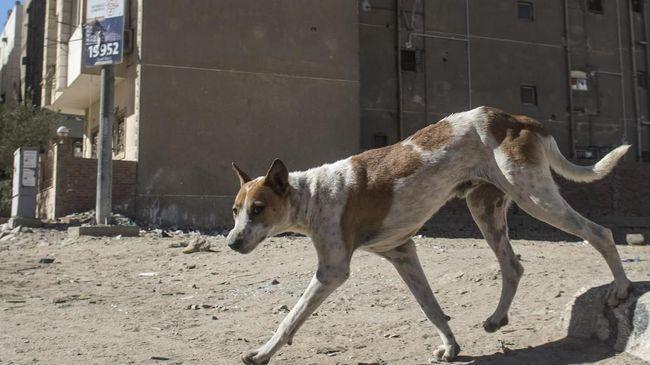 Kawanan Anjing Liar Kuasai Jalanan di Mesir