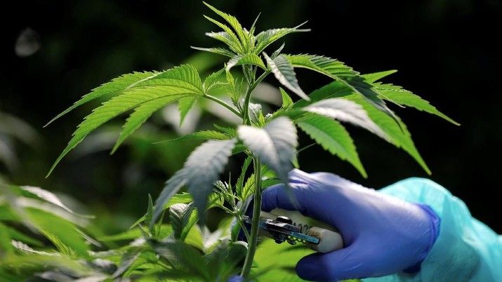 An employee tends to medical cannabis plants at Pharmocann, an Israeli medical cannabis company in northern Israel January 24, 2019. Picture taken January 24, 2019. REUTERS/Amir Cohen