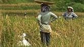 Warga memanen padi di Kampung Naga, Kabupaten Tasikmalaya, Jawa Barat. (ANTARA FOTO/Adeng Bustomi)