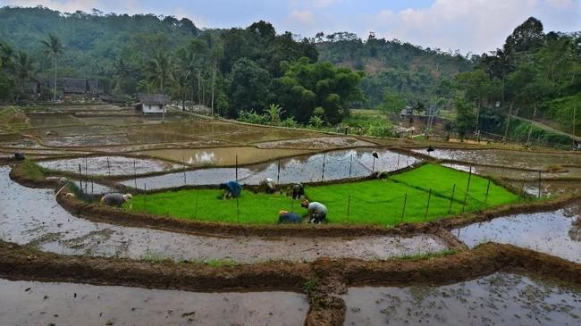Warga menanam benih padi di lahan Kampung Naga, Kabupetan Tasikmalaya, Jawa Barat. (ANTARA FOTO/Adeng Bustomi)