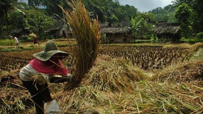 Warga merontokan padi saat panen raya di Kampung Naga, Kabupaten Tasikmalaya, Jawa Barat. (ANTARA FOTO/Adeng Bustomi)
