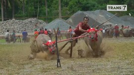 VIDEO: Keseruan Menunggang Kerbau di Tanah Sumbawa