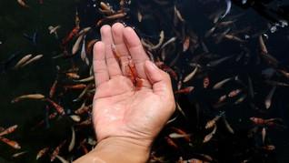 Ikan Cupang, Cara Unik Basmi Jentik Nyamuk DBD