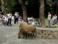 Tahun Babi Tanah, Hong Kong Hadapi Masalah Populasi Babi Liar