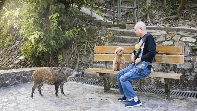 Ada banyak kasus keberadaan babi liar yang dianggap meresahkan masyarakat. Mulai dari yang berlarian di tengah jalan, lintasan pesawat, sampai jatuh dari langit-langit toko. (AFP PHOTO/Anthony Wallace)