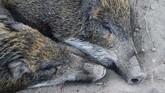 AFCD mengatakan mereka tidak memiliki perkiraan total populasi babi liar di Hong Kong, tetapi pendataan kamera pengawas di taman-taman telah mencatat peningkatan jumlah dan penyebaran yang lebih luas dibanding 20 tahun lalu. (AFP PHOTO/Anthony Wallace)