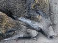 Wabah Virus Babi Merambah ke Karangasem Bali