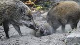 Departemen Pertanian, Perikanan dan Konservasi sekarang mempertimbangkan menyuntik mati babi hutan
