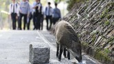 Seekor babi hutan liar terlihat berkeliaran di Aberdeen Park, Hong Kong. Saat Hong Kong bersiap untuk merayakan Tahun Babi, kota ini menghadapi masalah pengendalian babi hutan liar yang mengundang pro dan kontra. (AFP PHOTO/Anthony Wallace)