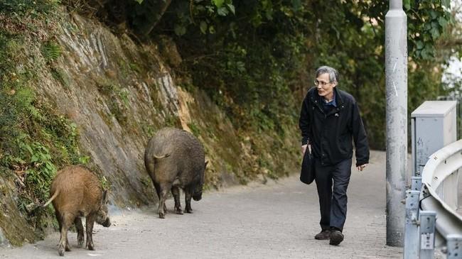 Dikenal sebagai kota yang padat dengan gedung pencakar langit, Hong Kong juga memiliki pegunungan subtropis dan lahan hijau yang menjadi habitat kawanan babi liar Eurasia yang kini jumlahnya berkembang pesat. (AFP PHOTO/Anthony Wallace)