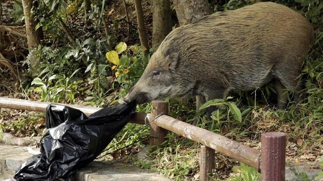 Pemerintah kota Hong Kong mengatakan jumlah laporan atas gangguan babi liar telah lebih dari dua kali lipat, dari 294 kasus pada tahun 2013 menjadi 679 kasus hanya selama Januari hingga Oktober 2018. (REUTERS/Jayson Albano)