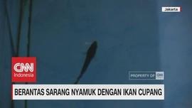 Berantas Sarang Nyamuk dengan Ikan Cupang