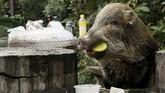 Kasus babi liar versus manusia yang menyebabkan cedera juga telah dilaporkan. Pada bulan Oktober, dua orang tua digigit oleh babi hutan di dekat taman kota, sementara empat bulan sebelumnya dua orang perlu dijahit setelah mereka diserang di dekat Universitas Hong Kong, media lokal melaporkan. (REUTERS/Jayson Albano)