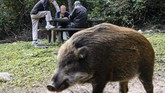 Veronique Che, dari Hong Kong Wild Boar Concern Group, mengatakan hewan-hewan itu tidak boleh disalahkan karena sejatinya padatnya populasi manusia membuat habitat mereka berkurang. (AFP PHOTO/Anthony Wallace)
