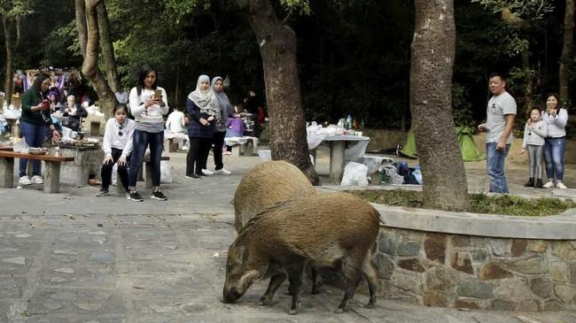 Tumpukan sampah di tempat terbuka, area memasak yang tak beratap, sampai kebiasaan manusia yang memberi makan, membuat populasi babi liar semakin berkembang. (REUTERS/Jayson Albano)