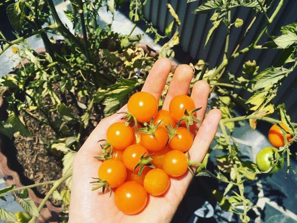 Siapa sangka wanita 30 tahun ini hobi berkebun. Kali ini ia memamerkan tomat cherry yang baru saja dipetiknya. Foto: Instagram behatiprinsloo