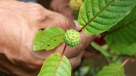 Fakta Daun Kratom, Tanaman Herbal yang Dianggap Mirip Narkoba