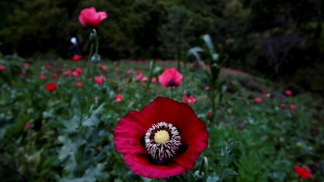 Sebuah lapangan di Sierra Madre de Sur, negara bagian selatan Guerrero, Meksiko, dipenuhi oleh bunga dengan kelopak merah.Bunga yang sekilas nampak 'normal' ini merupakan bunga opium. (REUTERS/Carlos Jasso).