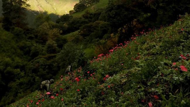 Tentara menghancurkan ladang perkebunan opium ilegal di Sierra Madre del Sur, Meksiko, pada Agustus lalu. (REUTERS/Carlos Jasso).