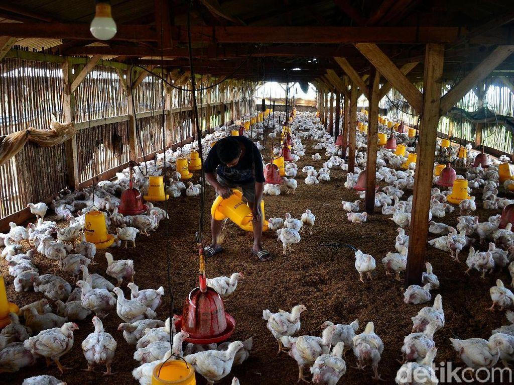 Perkiraan tersebut dipicu oleh bertambahnya populasi ternak ayam. Selain itu, 90 persen pasar industri pakan dalam negeri dipergunakan untuk memenuhi kebutuhan peternakan ayam.
