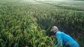 Bukti lain tingginya kebutuhan beras nasional adalah persoalan harga. Badan Pusat Statistik (BPS) melansir harga rata-rata beras di tingkat eceran naik 1,1 persen secara bulanan pada Januari 2019. Kenaikan harga beras ini lebih tinggi dibanding Desember 2018 lalu.(ANTARA FOTO/Harviyan Perdana Putra).
