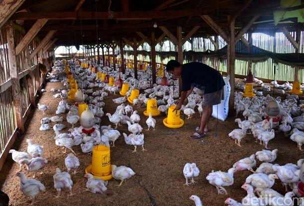Produksi Ayam Broiler Terus Digenjot