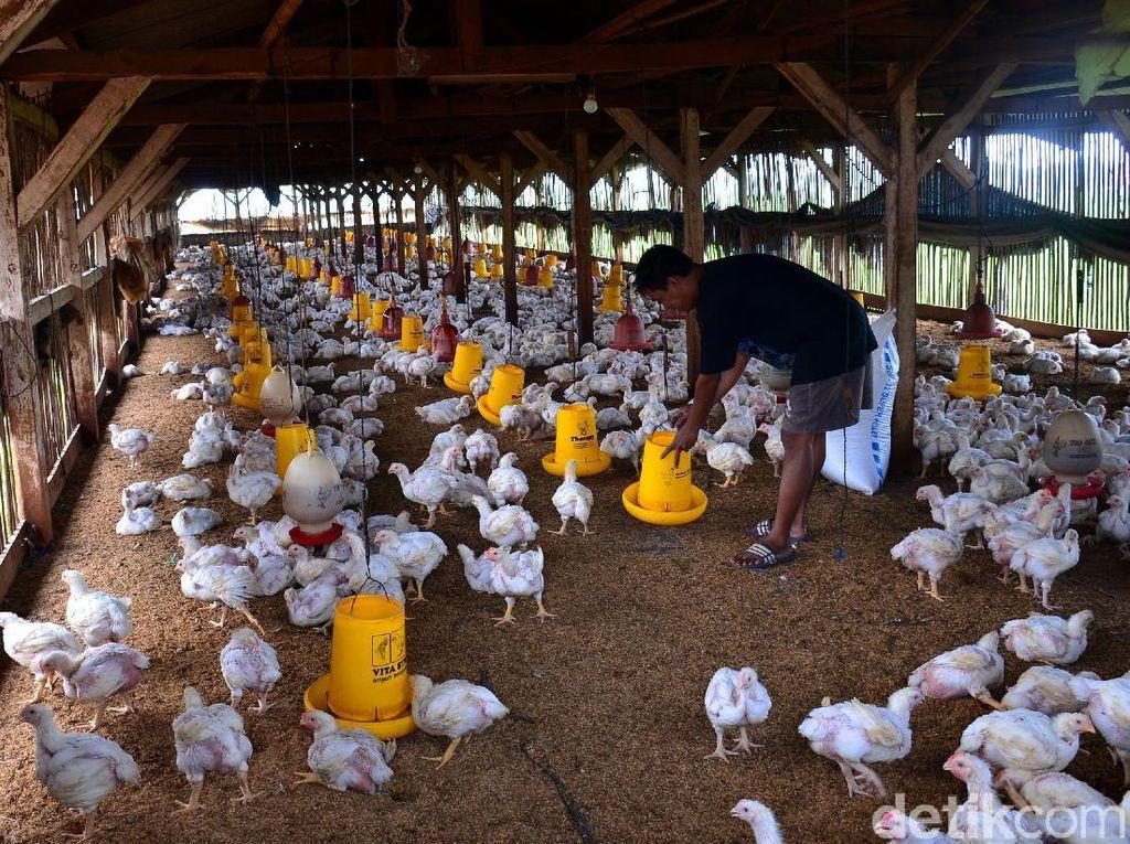Seorang peternak sedang memberi makan ayam broiler di peternakan ayam miliknya di Cimincring, Bandung, Jawa Barat, Senin (11/2/2019).