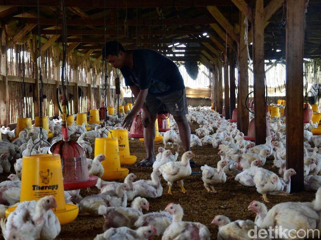 Gabungan Perusahaan Pembibitan Unggas (GPPU) memperkirakan, produksi ayam broiler final stock (FS) pada 2019 berpotensi tumbuh 5 hingga 8 persen dari tahun lalu yang mencapai 3,30 miliar ekor.