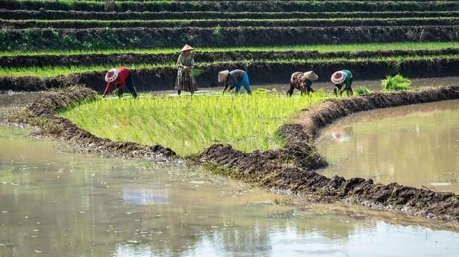 Tahun ini, pemerintah kembali membuka opsi impor beras melalui Perum Bulog apabila bencana banjir yang melanda Sulawesi Selatan menggagalkan panen padi yang seharusnya jatuh sekitar Februari-Maret 2019.(ANTARA FOTO/Aji Styawan).