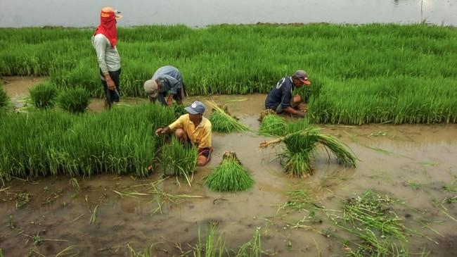 Kendati masih mempertimbangkan impor, Perum Bulog bercita-cita melakukan ekspor beras saat panen raya pada Maret 2019 nanti. Dengan catatan, bila gudang beras milik Bulog tak mampu menyerap seluruh beras produksi panen raya.(ANTARA FOTO/Oky Lukmansyah).