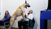 Seekor anjing lainnya, ras schipperke bernama Colton juga mencetak kemenangan di grup lain. (REUTERS/Andrew Kelly)