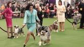 Hampir 3.000 anjing mengikuti kompetisi anjing terbaik yang paling bergengsi di dunia. (REUTERS/Andrew Kelly)