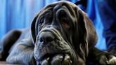 Romeo, adalah salah satu anjing yang ikut berpartisipasi dalam kontes anjing terbaik di AS. (REUTERS/Andrew Kelly)