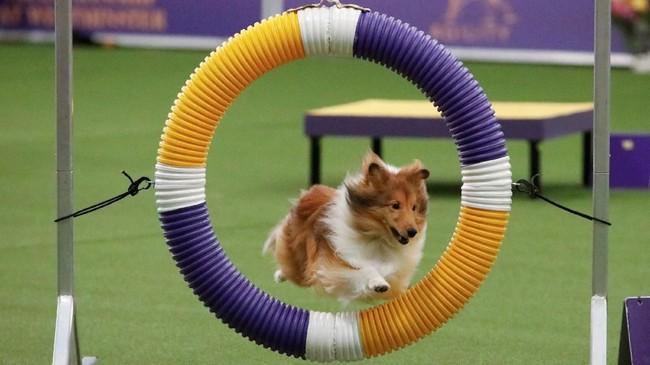 Seekor anjing dachshund berambut panjang, seekor anjing Havanese, schipperke, dan bouvier des Flandres memenangkan kompetisi kelompok anjing di Westminster Kennel Club Dog Show tahunan ke-143. (REUTERS/Andrew Kelly)