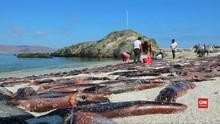 VIDEO: Ribuan Sotong Mati Terdampar di Pantai Chile