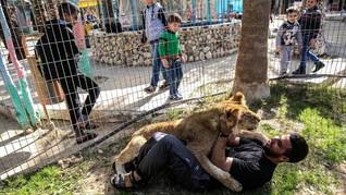 Bermain dengan Singa 'Cakar Buntung' di Gaza