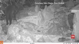 VIDEO: Macan Tutul Hitam Kembali Terlihat di Kenya