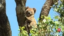 VIDEO: Koala Terancam Punah Pada 2050