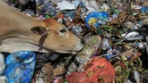 Sapi memakan sampah di Tempat Pembuangan Akhir (TPA) Desa Mata Ie, Kecamatan Meureuboe, Aceh Barat, Aceh, Rabu (23/1). Daging dari sapi yang mencari makan di tumpukan sampah disinyalir mengandung logam berat sehingga tidak layak dikonsumsi karena berbahaya bagi kesehatan manusia.(ANTARA FOTO/Syifa Yulinnas)