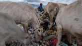 Sapi memakan sampah di Tempat Pembuangan Akhir (TPA) Desa Mata Ie, Kecamatan Meureuboe, Aceh Barat, Aceh, Rabu (23/1). (ANTARA FOTO/Syifa Yulinnas)