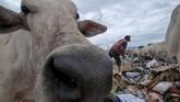 Pemulung berjibaku dengan sapi ternak untuk mendapatkan sampah di Tempat Pembuangan Akhir (TPA) sampah Kawatuna, Palu, Sulawesi Tengah, Selasa, (29/1). Ribuan ternak sapi milik warga sengaja dilepas ke tempat sampah untuk mencari makan demi menekan ongkos pakan. (ANTARA FOTO/Basri Marzuki)