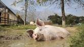 Nyawa Pigcasso sebenarnya nyaris habis di tangan penjagal. Ia dikirim ke rumah jagal oleh sebuah perusahaan daging di Afrika Selatan pada usia empat minggu. (REUTERS/Sumaya Hisham)