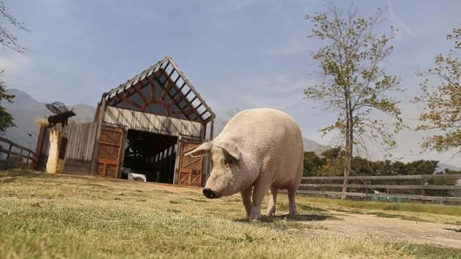 Pigcasso sudah punya pameran lukisan sendiri, bertajuk 'Oink!' yang sudah keliling Eropa. Prancis, London, Berlin, dan Amsterdam sudah dikunjungi Pigcasso. (REUTERS/Sumaya Hisham)
