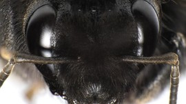 Ilmuwan Asing Temukan Lebah Raksasa di Indonesia