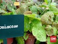 Indonesia Punya 500 Jenis Tanaman Hias Begonia