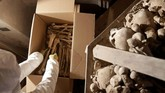 Para ahli itu harus membongkar empat piramida, membersihkan satu persatu dengan seksama dan kembali menyusun ulang koleksi milik Gereja Sedlec Ossuary di Kutna Hora, Republik Ceko. (REUTERS/David W Cerny)