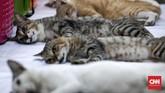 Kucing yang boleh sterilisasi gratis kali ini merupakan kucing piaraan lokal bukan kucing campuran/ras. CNNIndonesia/Safir Makki