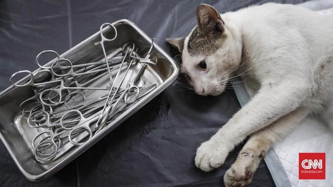 Syarat kucing yang dapat dikastrasi (kebiri) harus mempunyai pemilik. Selain itu, pemiliknya harus ber-KTP DKI dan sekitarnya dan kucingnya harus terlebih dulu mendapatkan vaksin rabies. CNNIndonesia/Safir Makki